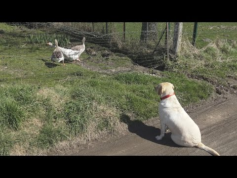 Labrador Listening, Three Geese Singing [4K]