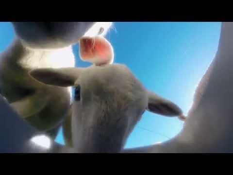 GoPro Feeding the Livestock