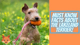Getting to Know Your Dog's Breed: Lakeland Terrier Edition