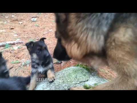 German Shepherd Mom and 7 Pups  FOREST WALK
