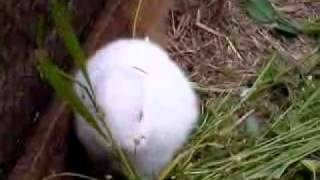 deformed rabbit without ears born after Japanese nuclear reactor accident flv