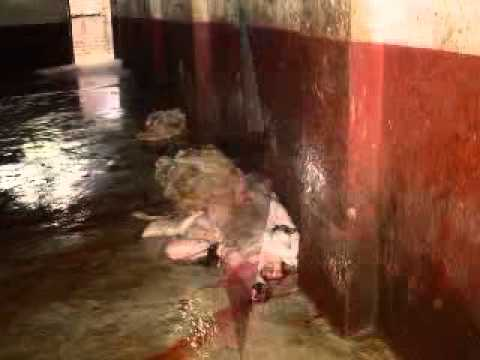23 people killed in 'cow terrorism' since 2014 |Scary Cows Killing Someone