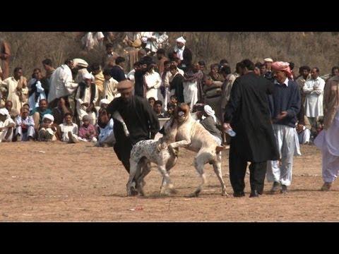 Download Dog fights illegal but still popular in Pakistan