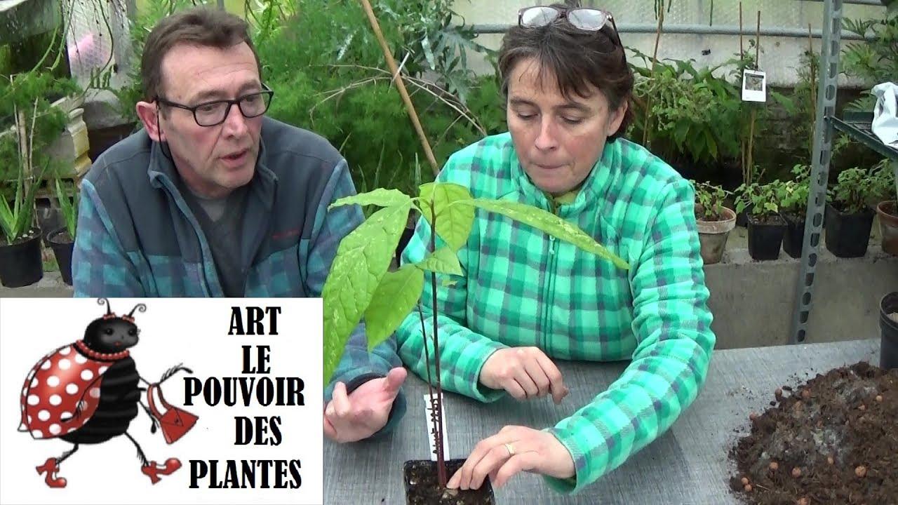 Comment Pousse Les Avocats conseils jardinage: avocat: comment faire pousser un avocatier à la maison  (semis): plante verte