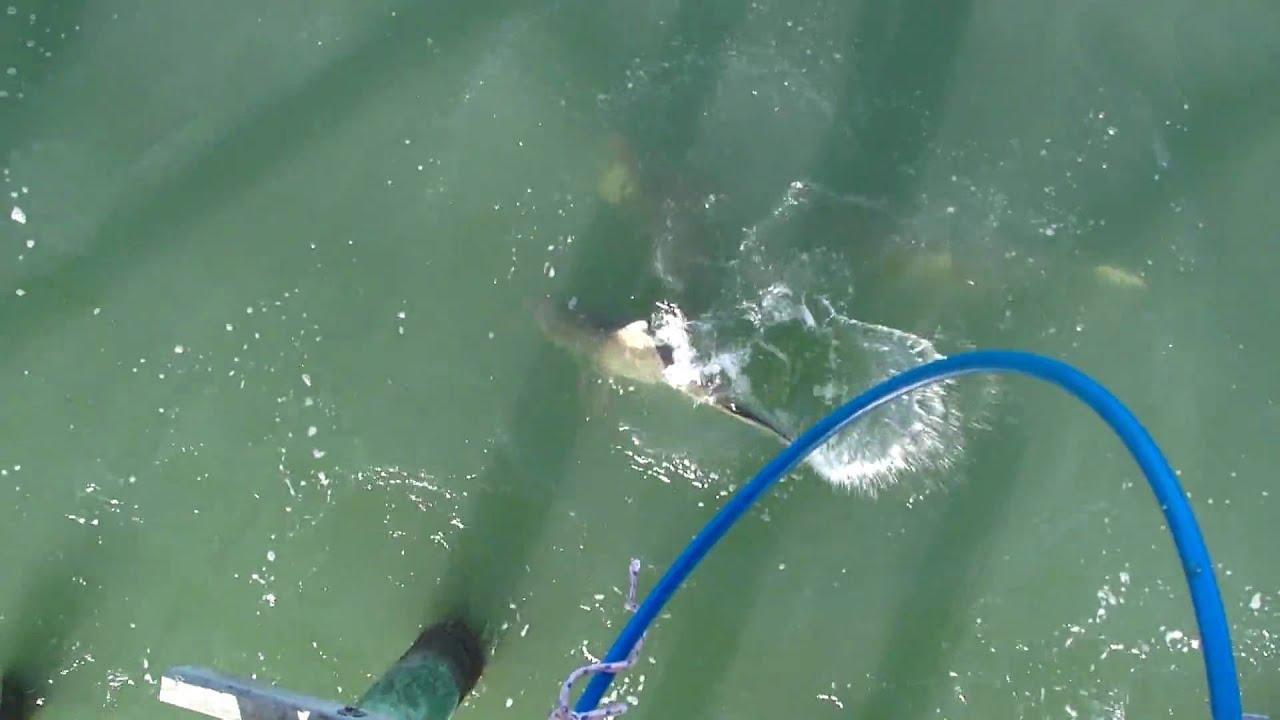 Sharks Eat Bluefish Head Off Cherry Grove Pier Sc Youtube