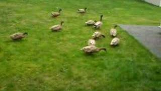 DUCK CHASE!