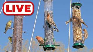 Preview of stream Bird Feeder Cam - San Jose, California