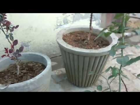 How to care english rose for best quality flower || pruning update