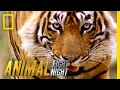 Slash a Tiger By the Toe | Animal Fight Night