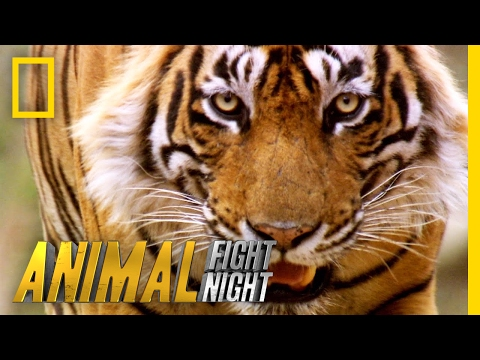 Thumbnail: Slash a Tiger By the Toe | Animal Fight Night