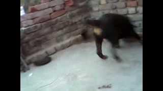 My Cute Blind Rottweiler Puppy :)
