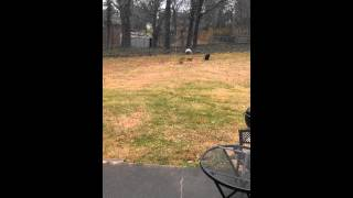 Crazy Dachshund Wants To Play With Pooping Dog