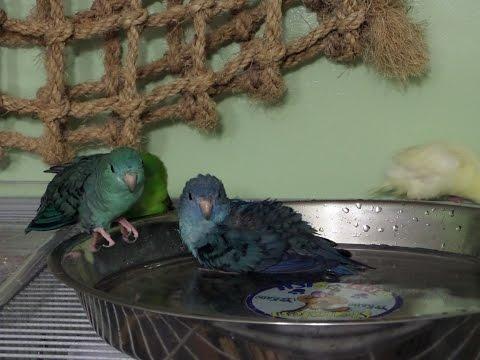 How I make my birds take a bath