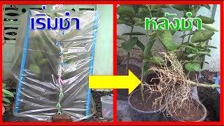 เทคนิคใหม่!! ชำมะนาวกิ่งใหญ่# ออกรากเยอะ ลดขั้นตอนการทำ! เร็วกว่าการตอนเยอะมาก I เกษตรปลอดสารพิษ