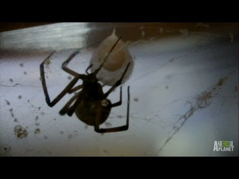 Brown Widow Spiders Invade | Infested!