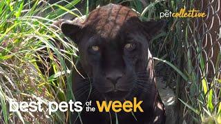 Super Cool Big Cat  Best Pets of the Week
