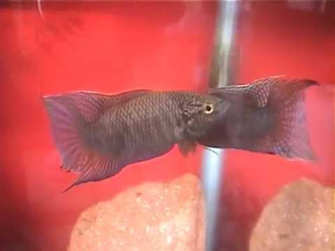 ブラック闘魚 対決.wmv ▶1:27