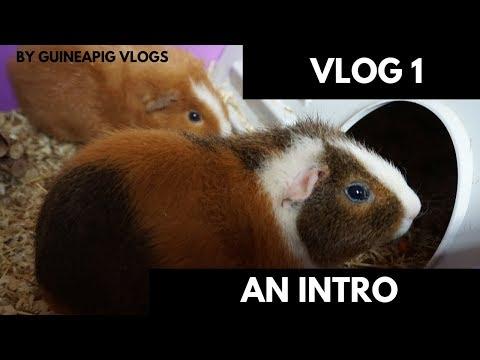 Guinea Pig Intro : VLog 1