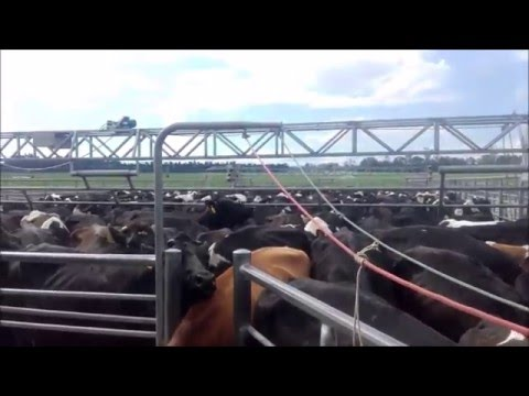 highspeed milking in New Zealand (80bail rotary)
