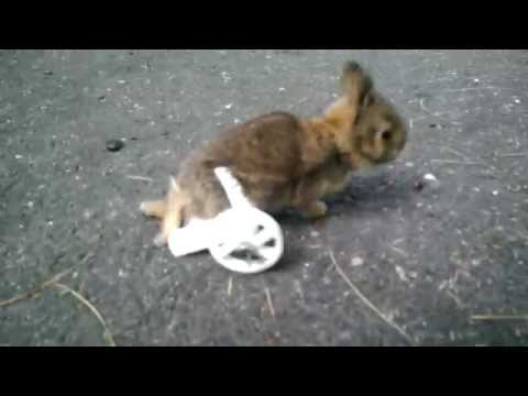 Paralyzed Baby Bunny with Custom 3D Printed Wheelchair