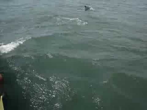 Dolphins In Myrtle Beach