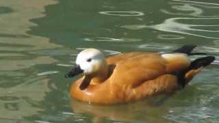 Огарь, красная утка (Casarca ferruginea) / Red Ducks