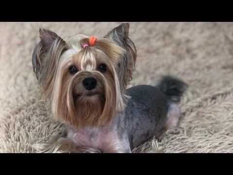 VLOG:приучение собаки к выгулу,что делать если метят ?