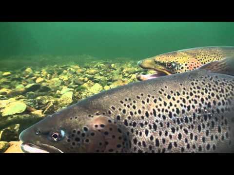 Big Brown Trout in Tokkeåi Norway