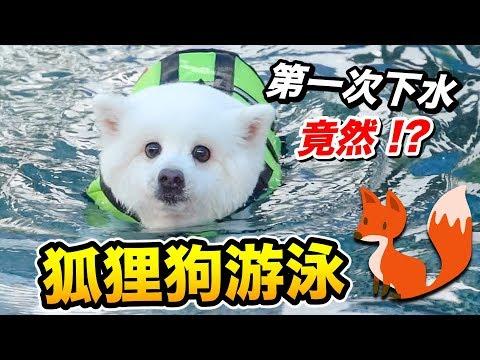 狐狸狗游泳『第一次下水,竟然!?』