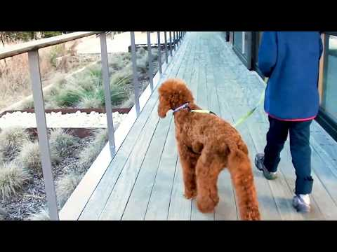 red standard poodle out for a walk