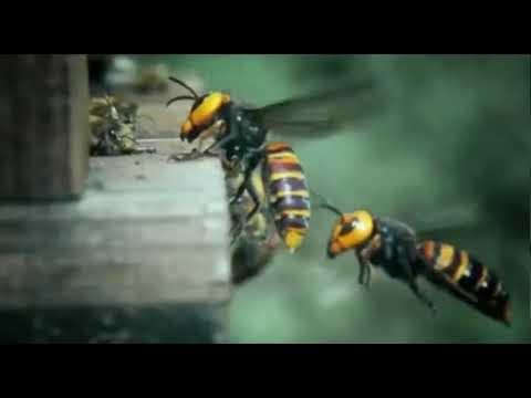 30 eşek arısınının 30.000 bal arısı savaşı