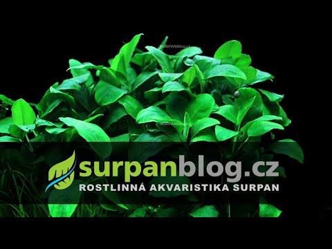 Anubias barteri var. nana - Anubis zakrslý - aquarium plant (fullHD)