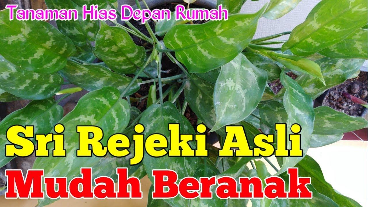 Tanaman Sri Rejeki Asli Aglonema Youtube Gambar bunga sri rejeki