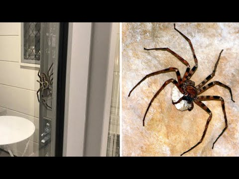 Giant Huntsman Spider thatu0027s larger than Dinner Plate was blocking the coupleu0027s door in Australia & Giant Huntsman Spider thatu0027s larger than Dinner Plate was blocking ...