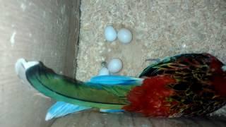 Разведение розелл и корелл. Высиживают яйца свои и чужие.