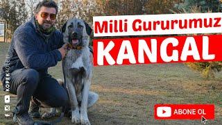 Köpek Irkları - Kangal