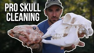 Skull Cleaning Using Maceration