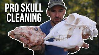 Skull Cleaning Using Maceration