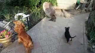 Попытка собак прогнать котта!Рыакция кота просто убила!Ржака
