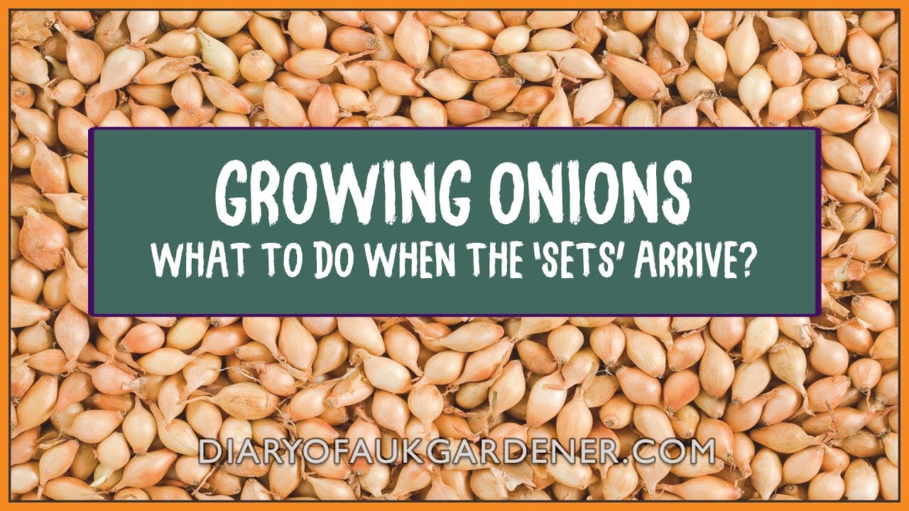 Sean\'s Allotment Garden Derby Lane 568: Onions from Sets - What to ...