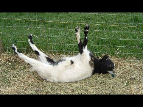 Обморочные козы. Малейший стресс - полный паралич