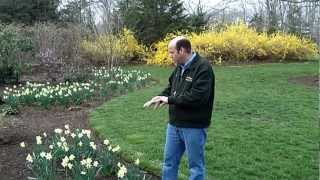 How to Naturalize with Daffodils | Planting Daffodils