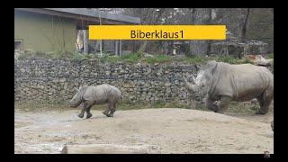 2 Nashorn Baby Keeva hält seine Mutter auf trab Zoo Augsburg Rhinozeros