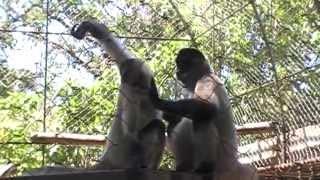 Прикол с обезьянами.Hawaii Zoo.Usa.Spokane.