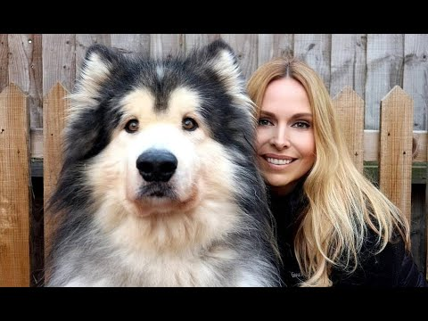 GIANT ALASKAN MALAMUTE DOGS / Animal Watch
