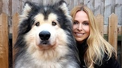 GIANT ALASKAN MALAMUTE DOGS