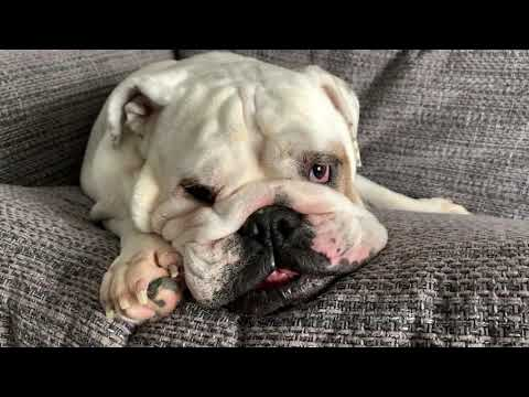 Lincoln & Birdie Are Blissfully Oblivious  | ENGLISH BULLDOG