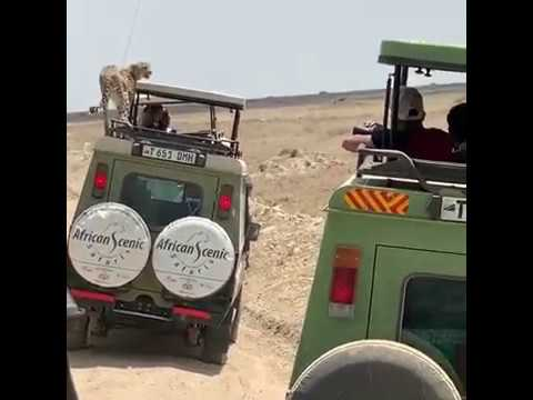 GOING VIRAL: Summit Mom's Video Of Cheetah Jumping On Safari Jeep Makes International News