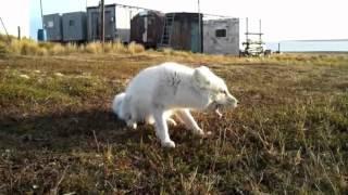 Дикий песец осенью в Арктике. Wild polar fox.