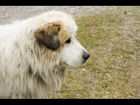 Pyrenean Mastiff (Mastín del Pirineo) - Dog Breed
